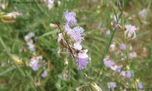 远志种子发芽出苗开花图片