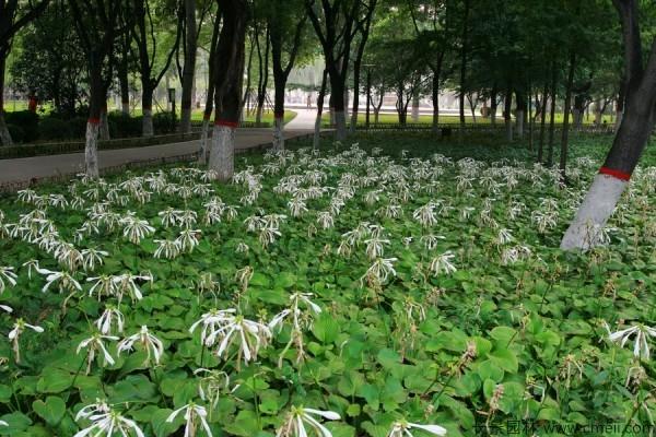 玉簪种子发芽出苗图片