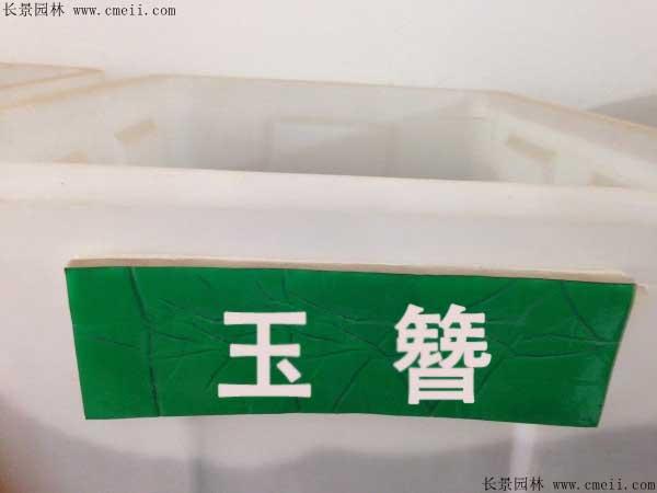 玉簪种子图片