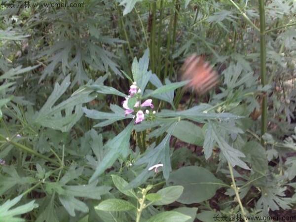 益母草种子图片