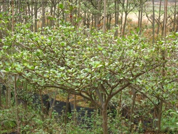 小叶榄仁种子发芽出苗图片