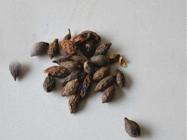 小叶榄仁种子图片