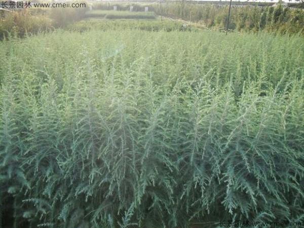 雪松种子发芽出苗图片