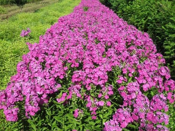 五色梅种子发芽出苗开花图片