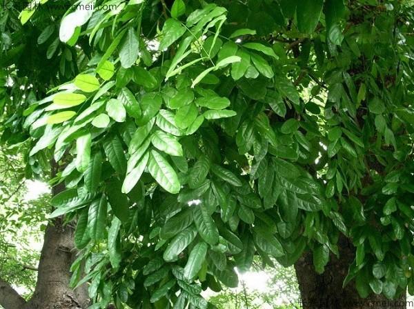 桃花心木种子发芽出苗图片
