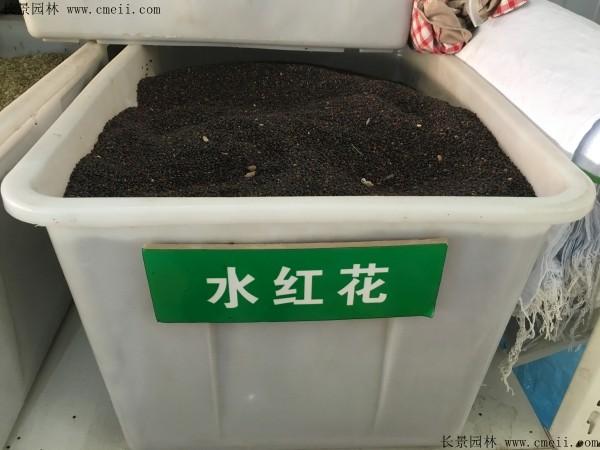 水红花种子图片