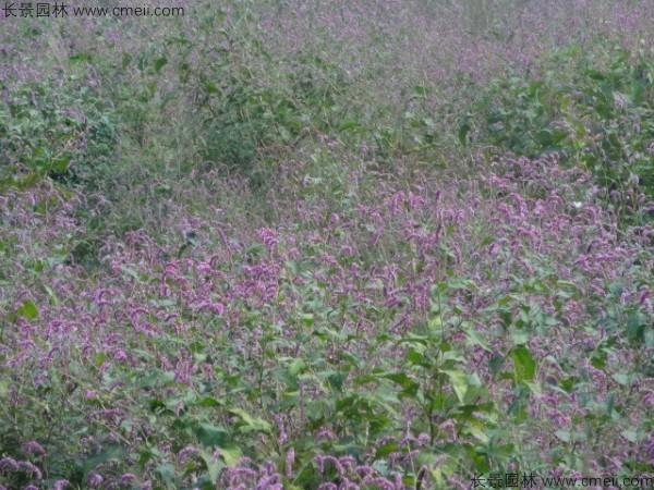 水红花种子发芽出苗开花图片