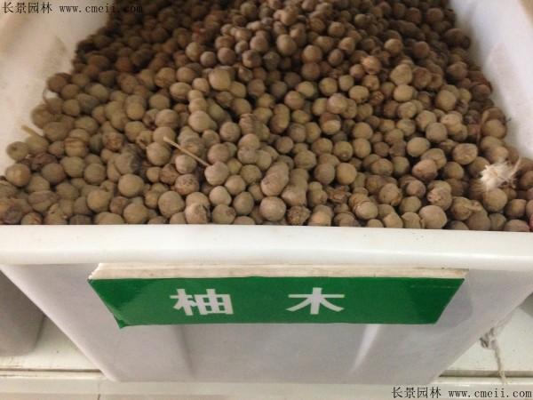 柚木种子图片