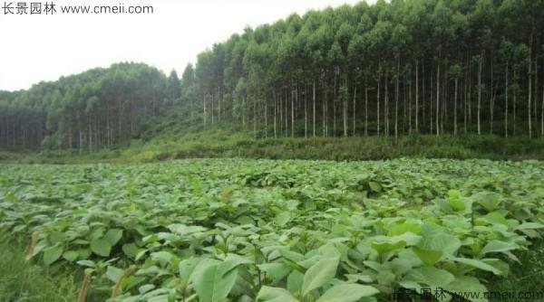 柚木种子发芽出苗图片