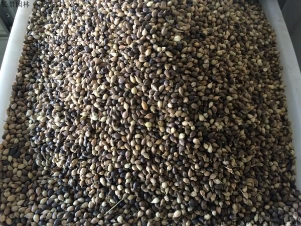 薏米种子图片