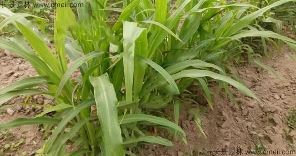 薏米种子发芽出苗图片