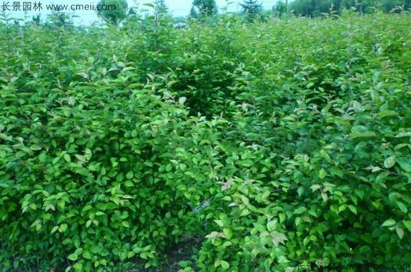 山丁子种子发芽出苗图片