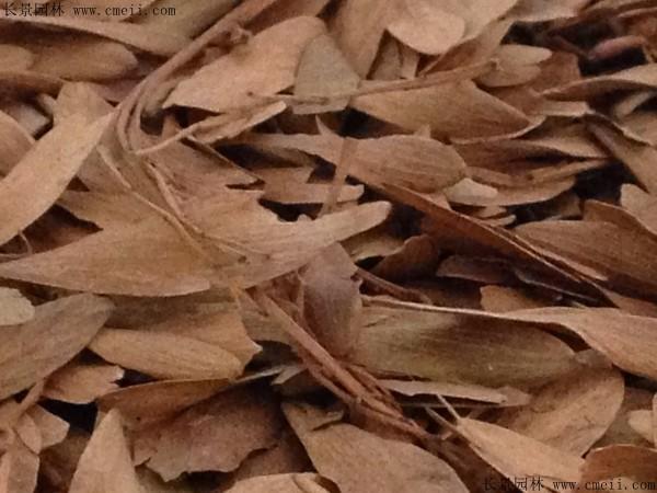 水曲柳种子图片