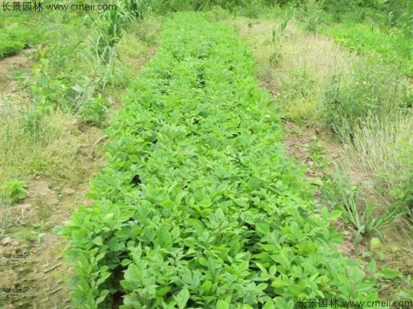 水曲柳种子发芽出苗图片