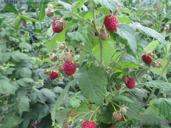 树莓种子图片