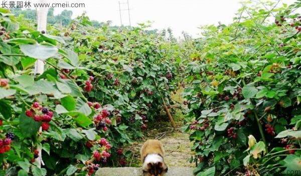 树莓种子发芽出苗图片