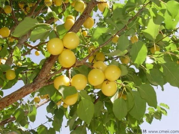 山杏种子图片