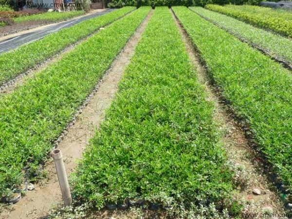 千里香种子发芽出苗图片