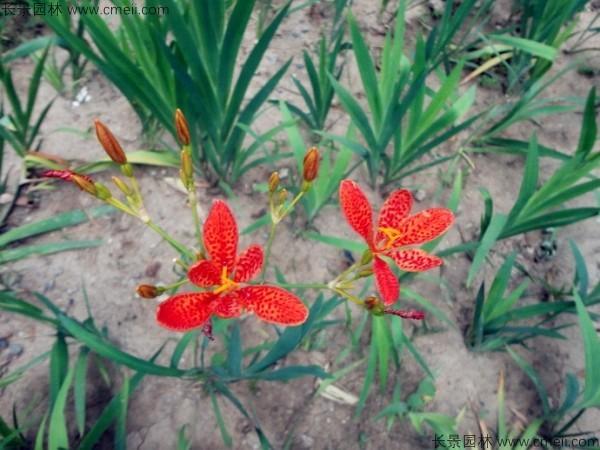 射干种子发芽出苗开花图片