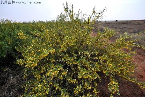 柠条种子发芽出苗开花图片
