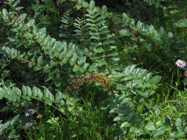 马桑种子发芽出苗图片