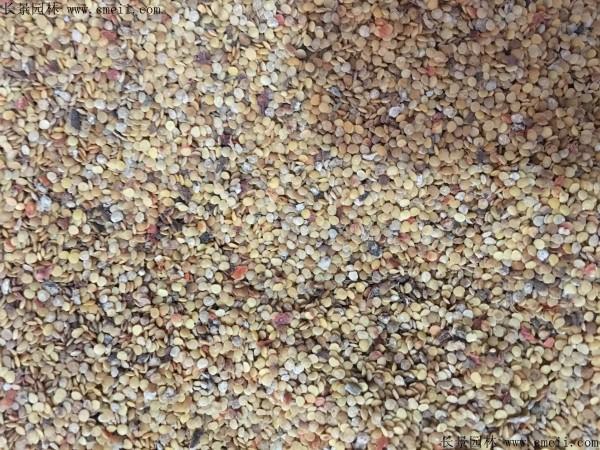 锦灯笼种子图片