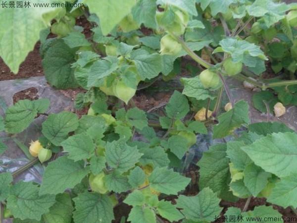 锦灯笼种子发芽出苗图片