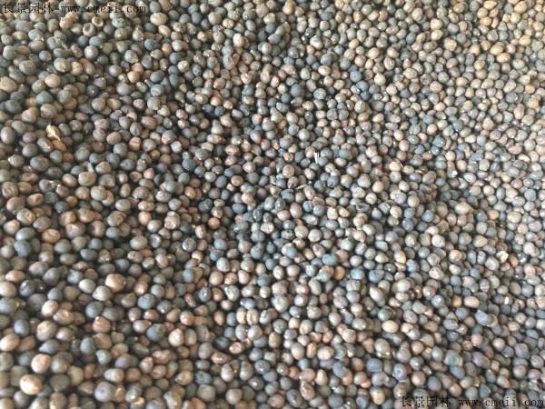 木棉种子图片