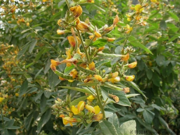 木豆种子发芽出苗开花图片