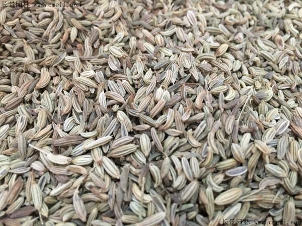 茴香种子图片