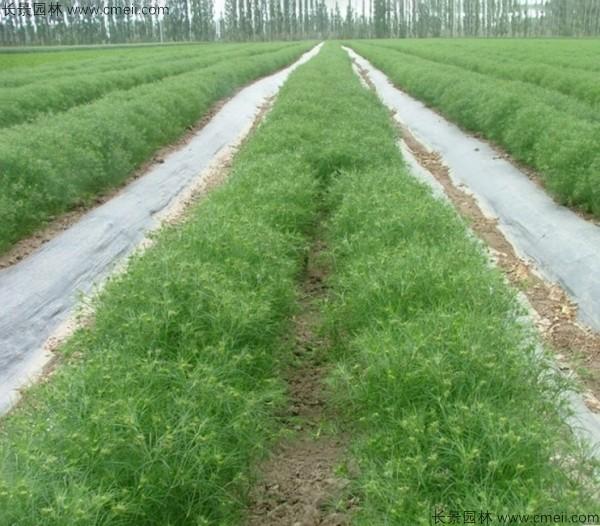 茴香种子发芽出苗图片