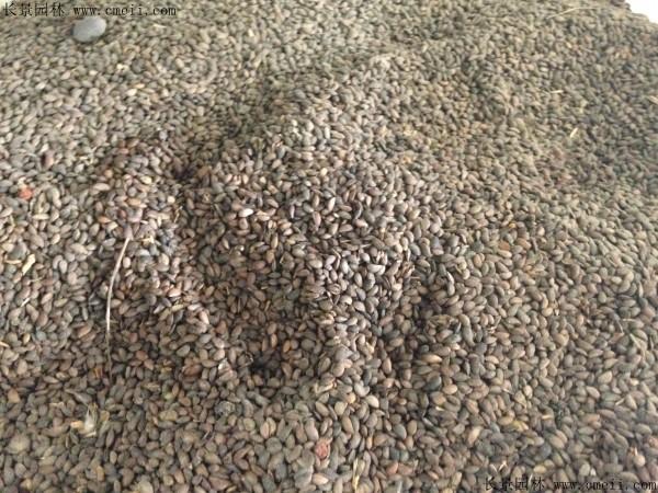 黄柏种子图片