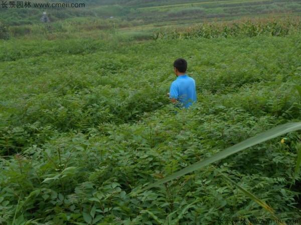 黄柏种子发芽出苗图片