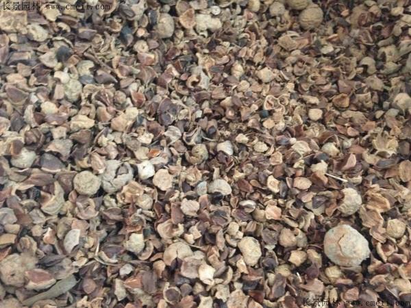 落羽杉种子图片