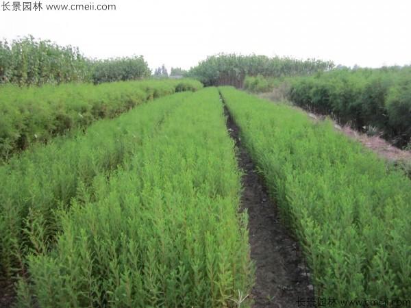 落羽杉种子发芽出苗图片