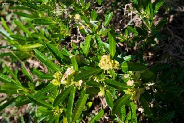 车桑种子发芽出苗图片