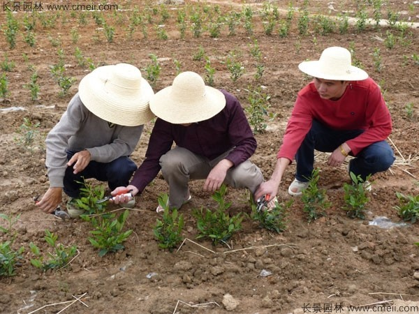 茶树种子发芽出苗图片