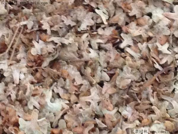 白桦种子图片