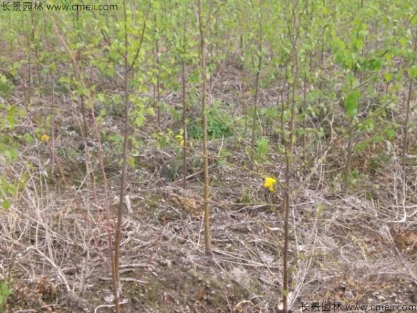 白桦种子发芽出苗图片