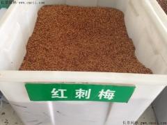 红刺梅种子
