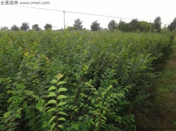 榉树种子发芽出苗图片