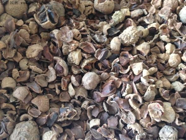 池杉种子图片