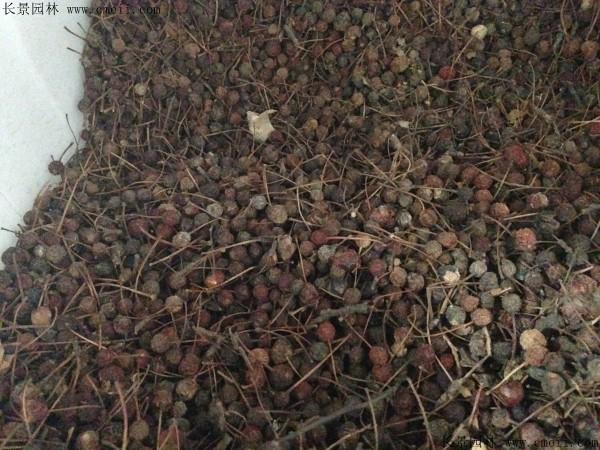 垂丝海棠种子图片