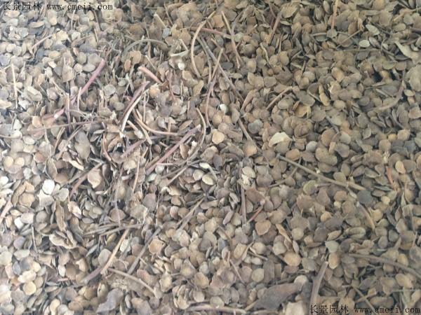 臭椿种子图片