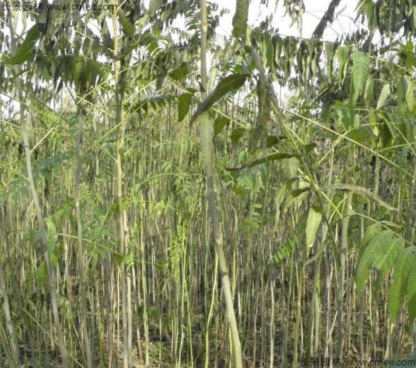 臭椿种子发芽出苗图片