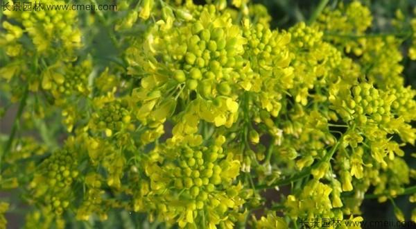 板蓝根种子发芽出苗开花图片