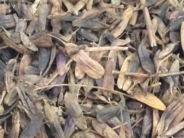 板蓝根种子图片