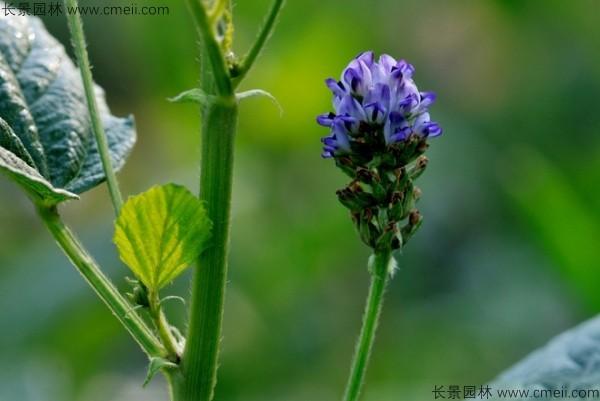 补骨脂种子发芽出苗开花图片