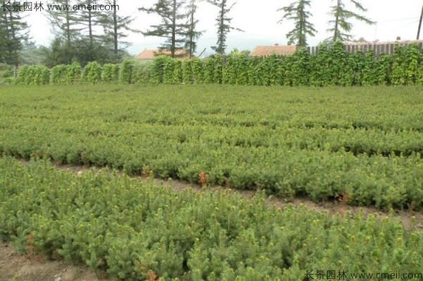 红松种子发芽出苗图片