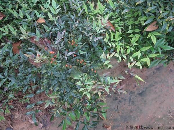 南天竹种子发芽出苗图片